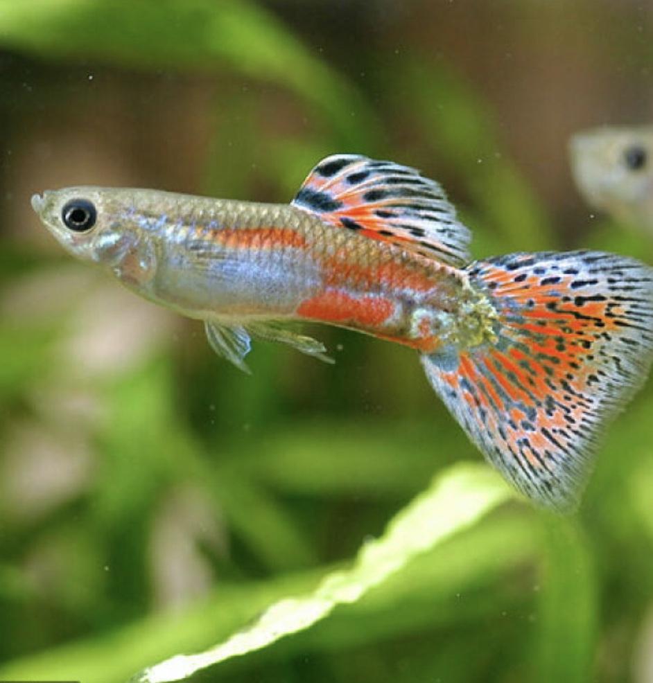 癒し:ペットの淡水魚たち